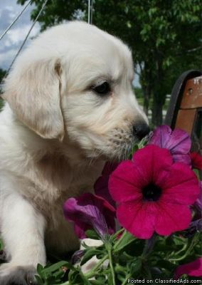 English Creme Golden Retriever Puppy!