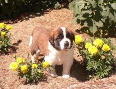 Beautiful AKC registered St. Bernard puppies available.
